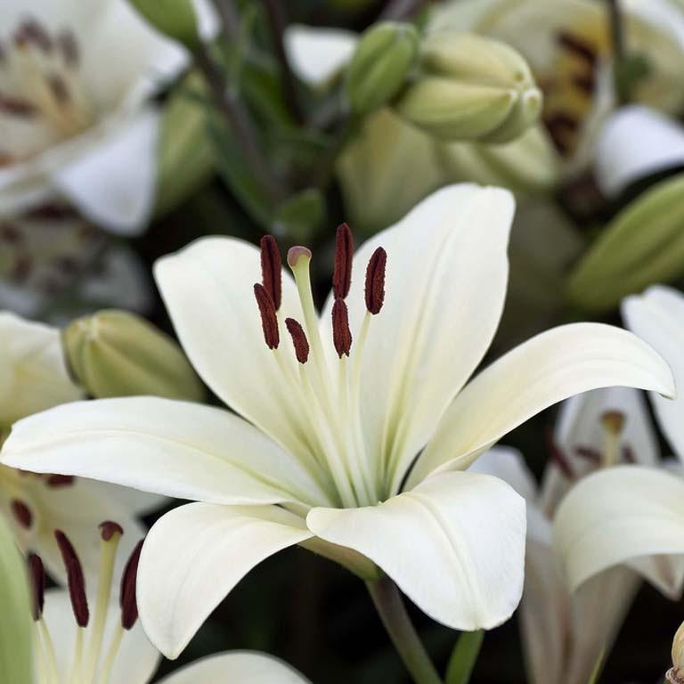 фото лилия белая